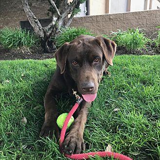 Labrador Retriever Dog for adoption in Long Beach, California - Luke