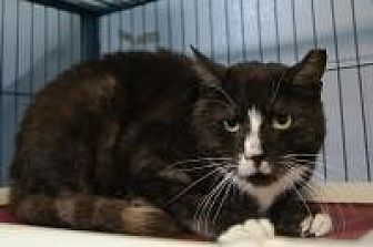 Domestic Shorthair Cat for adoption in New Milford, Connecticut - Spot
