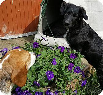 Border Collie/Newfoundland Mix Puppy for adoption in Cincinnati, Ohio - Wolf