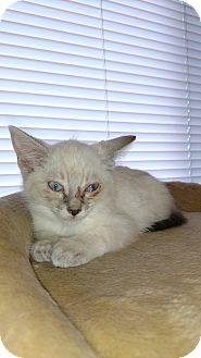 Javanese Kitten for adoption in Bisbee, Arizona - Herbie