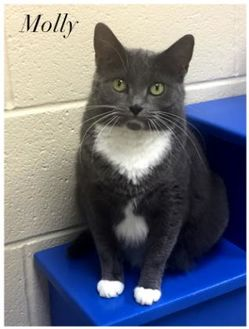 Domestic Shorthair/Domestic Shorthair Mix Cat for adoption in Valparaiso, Indiana - Molly
