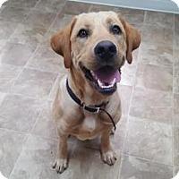 Retriever (Unknown Type)/Labrador Retriever Mix Dog for adoption in Chico, California - Goose