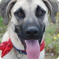 Adopt A Pet :: Scoobybig funny smart boy - Redding, CA