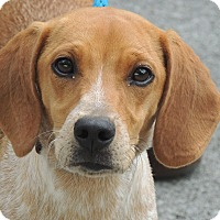 Adopt A Pet :: Copper - Hagerstown, MD