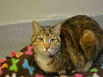 Domestic Mediumhair Cat for adoption in Rancho Cucamonga, California - LUCILLE