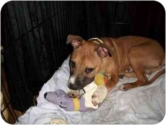 American Pit Bull Terrier/Boxer Mix Puppy for adoption in Reisterstown, Maryland - Spuds