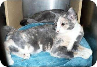 Calico Kitten for adoption in Colmar, Pennsylvania - Buttercup