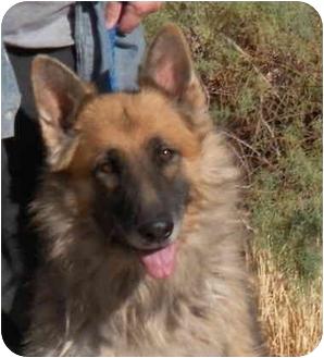 German Shepherd Dog Dog for adoption in Las Vegas, Nevada - Harley