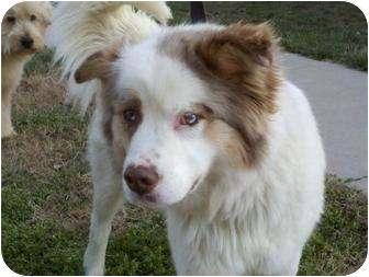 Australian Shepherd/Husky Mix Dog for adoption in Spring Valley, New York - Juno