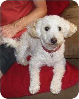Poodle (Miniature)/Bichon Frise Mix Dog for adoption in Palmyra, Wisconsin - Duke