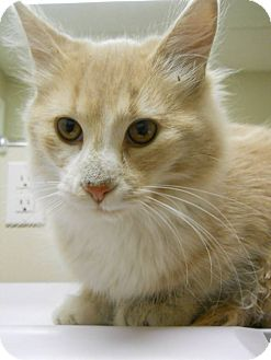 Domestic Longhair Kitten for adoption in Morden, Manitoba - Rufus