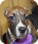 Terrier (Unknown Type, Small)/American Pit Bull Terrier Mix Puppy for adoption in Brooklyn, New York - Denny