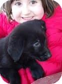 Labrador Retriever Mix Puppy for adoption in Salem, Massachusetts - Earl