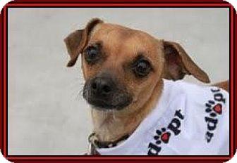 Chihuahua/Dachshund Mix Dog for adoption in Las Vegas, Nevada - Mr. Bean