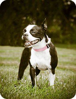 Boston Terrier Mix Dog for adoption in Bridgeton, Missouri - Bean-Adoption pending