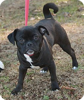 Pug Mix Dog for adoption in Portland, Maine - Missy (esther)