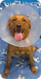 Labrador Retriever Dog for adoption in Oak Brook, Illinois - Maggie