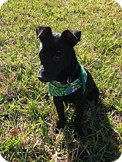 Dachshund/Terrier (Unknown Type, Small) Mix Puppy for adoption in Oviedo, Florida - Trigger