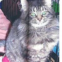Adopt A Pet :: Long Haired Kitten - Acme, PA