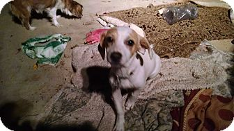 Beagle/Terrier (Unknown Type, Small) Mix Puppy for adoption in Simi Valley, California - Apollo
