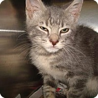 Domestic Shorthair Cat for adoption in Miami, Florida - Wolverine