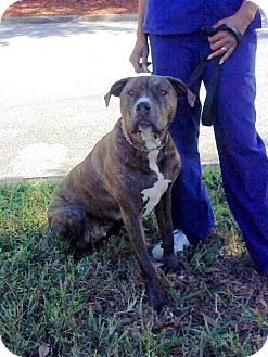 Mastiff/Pit Bull Terrier Mix Dog for adoption in Riverview, Florida - Buster Brown