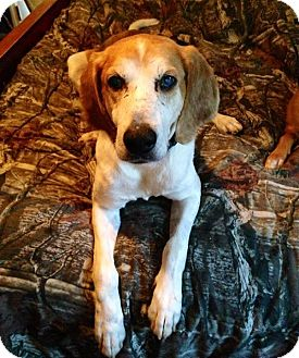 Coonhound/Foxhound Mix Dog for adoption in Limekiln, Pennsylvania - Henry