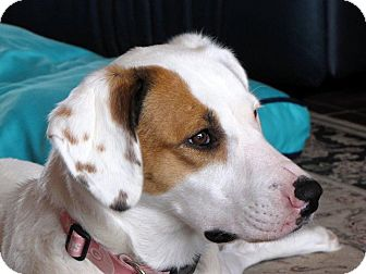 Dalmatian/Hound (Unknown Type) Mix Dog for adoption in Glenwood, Minnesota - Molly
