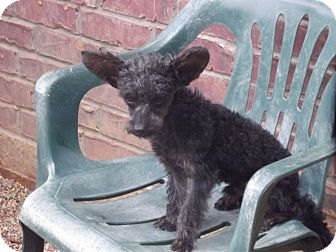 Poodle (Miniature)/Schnauzer (Miniature) Mix Dog for adoption in Marshall, Texas - Kasey
