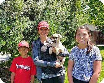 Boxer/Cairn Terrier Mix Puppy for adoption in Sacramento, California - Hulk