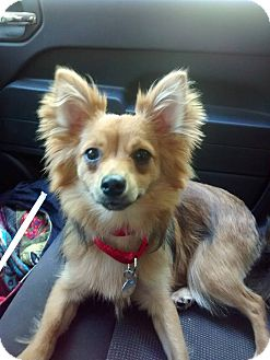 Pomeranian/Silky Terrier Mix Dog for adoption in Springfield, Vermont - Brutus