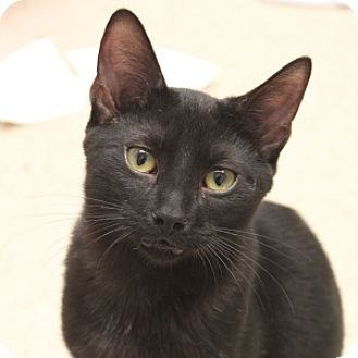Domestic Shorthair Kitten for adoption in Naperville, Illinois - Campbell