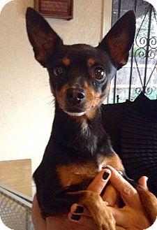 Miniature Pinscher Mix Dog for adoption in Santa Ana, California - Maya (CC)