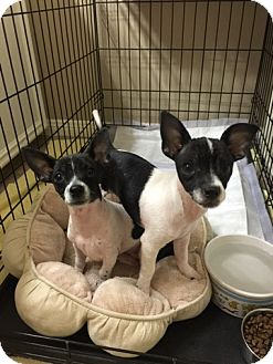 Rat Terrier/Chihuahua Mix Puppy for adoption in Denver, Colorado - Sophia