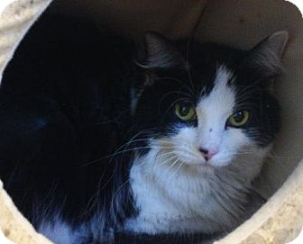 Domestic Longhair Cat for adoption in Knoxville, Iowa - Sasha