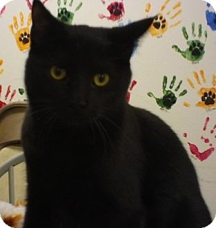 Domestic Shorthair Cat for adoption in Knoxville, Iowa - Magnum
