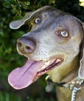 Weimaraner Dog for adoption in Sun Valley, California - Garey