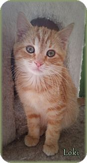 Domestic Shorthair Kitten for adoption in Lincoln, Nebraska - LOKI
