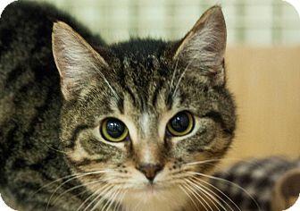 Domestic Shorthair Kitten for adoption in Astoria, New York - Kaspar