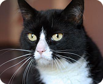 Domestic Shorthair Cat for adoption in Royal Oak, Michigan - MS BEE