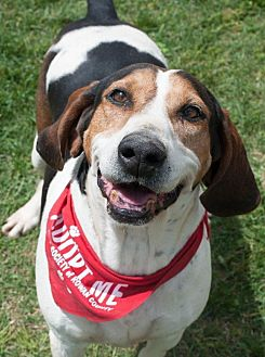 Hound (Unknown Type) Mix Dog for adoption in Salisbury, North Carolina - Lady