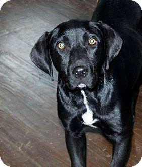 Labrador Retriever/Beagle Mix Dog for adoption in Naugatuck, Connecticut - Little River