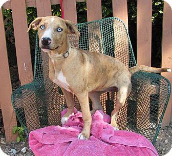 Catahoula Leopard Dog Mix Dog for adoption in Oakland, Arkansas - Gypsy