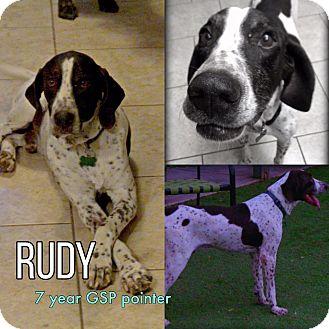 German Shorthaired Pointer Mix Dog for adoption in Phoenix, Arizona - Rudy