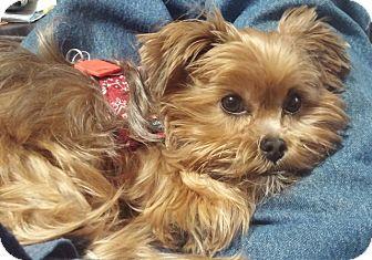 Shih Tzu/Yorkie, Yorkshire Terrier Mix Dog for adoption in Eden Prairie, Minnesota - MIA-pending