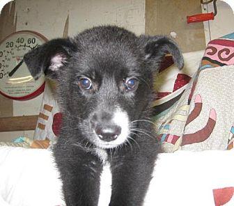 Border Collie Mix Puppy for adoption in Kankakee, Illinois - Sport