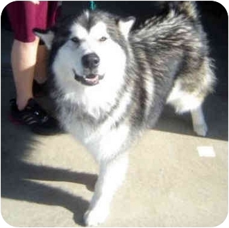 """Alaskan Malamute Mix Puppy for adoption in Various Locations, Indiana - """"Blizzard needs you"""""""