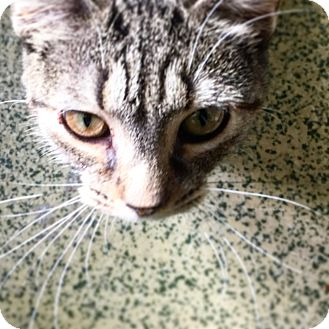Domestic Shorthair Cat for adoption in Indianapolis, Indiana - Captain Janeway