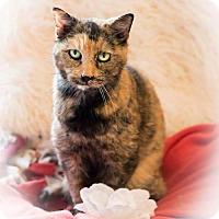 Adopt A Pet :: Kit - Naugatuck, CT