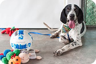 Bluetick Coonhound Mix Dog for adoption in Vancouver, British Columbia - Blue